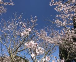 桜も咲いてましたよー。